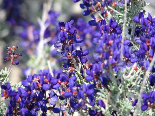 Beautiful purple desert wildlife blooms. This will be the cover for my writing project, Broken Girl and Other Tales of Redemption: A Collection of Parables, Poetry and Prose.